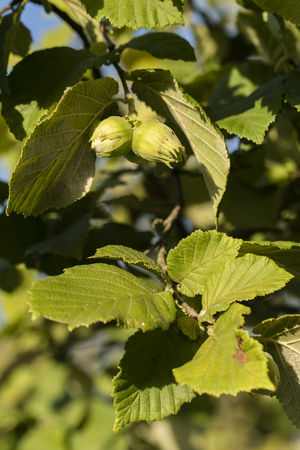 Ripe green hazelnuts on a tree. 스톡 콘텐츠