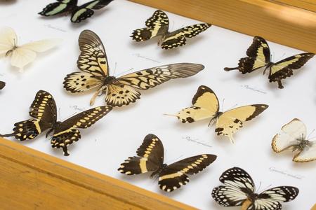 Exposed butterflies under glass.