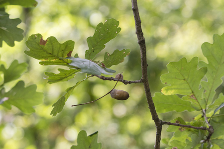 Suspended fallen acorn on an oak branch. Reklamní fotografie