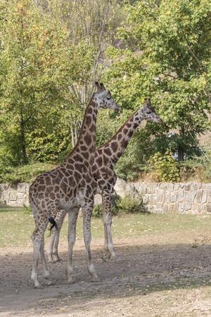 Giraffa camelopardalis - in full size. Stock Photo