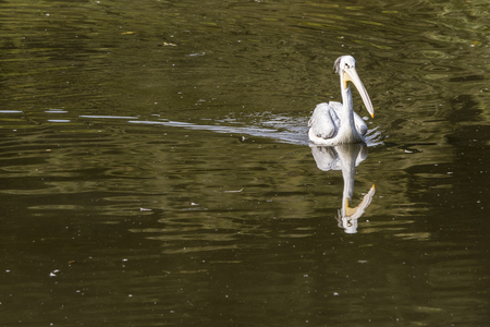 Pelecanus - pelican floating on the lake.