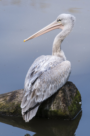 Pelecanus - pelican sitting on a trunk on the lake.