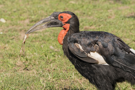 Bucorvus leadbeateri - Hornbill holding in the beak of a frog. Banque d'images