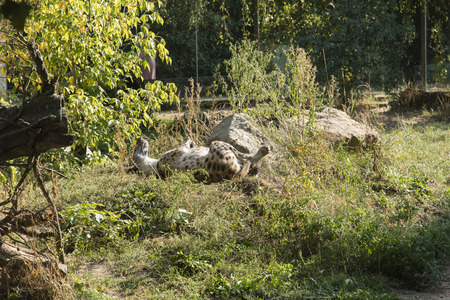 Spotted hyena lying on the grass. Stock Photo
