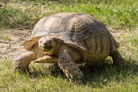 Centrochelys sulcata - Tortoise on the grass.