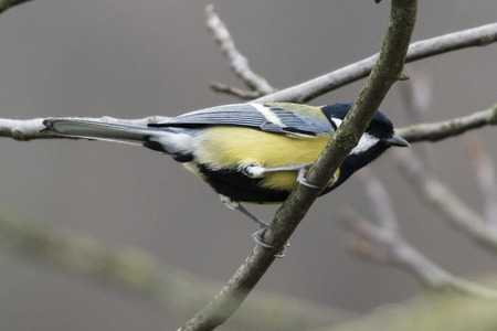 Parus major - Great tit on a branch.
