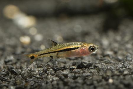 Boraras - small nano fish at bottom in aquarium. Stock fotó