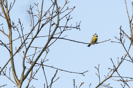 Blue tit on twig of oak without leaves.