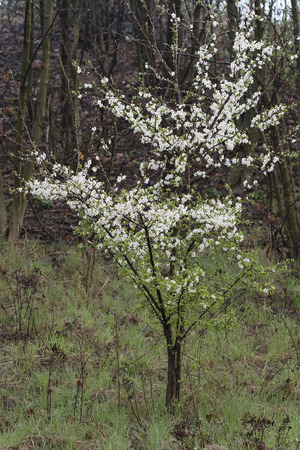 Plum tree with white flowers in nature at morning dusk. 版權商用圖片