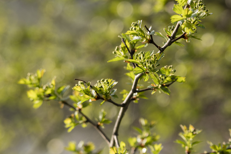 Crataegus - Buds of Hawthorn Flowers with Green Leaves.