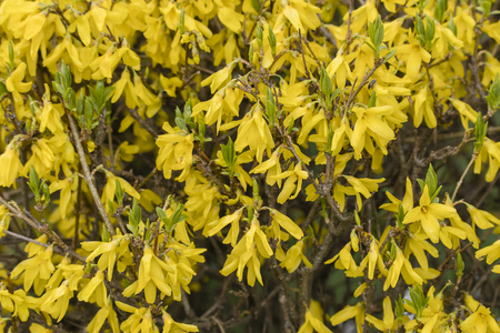 Forsythia - yellow flowers in detail.