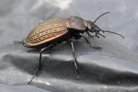 Carabus - Käfer auf schwarzer Folie.