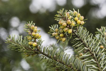 Flowers on ornamental spruce.