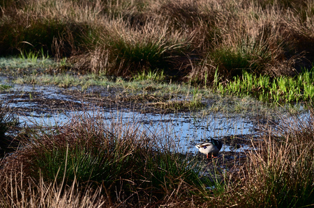 Duck on the shore of a marshy lake.