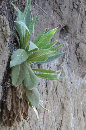 Mullein growing on a slope.