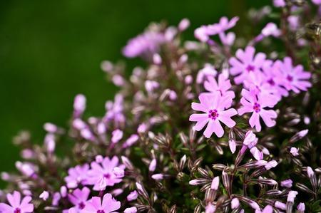 Pink flowers alpine plants. Imagens