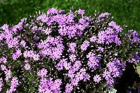 Pink flowers carpet plants. 免版税图像