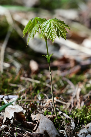 Fresh green leaves of young sapling maple tree.