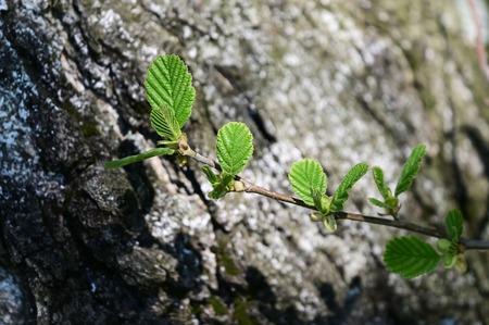 Fresh green leaves on alder twig. Stock Photo - 122012466