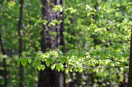 Lush leaves of beech tree on a branch in the forest.