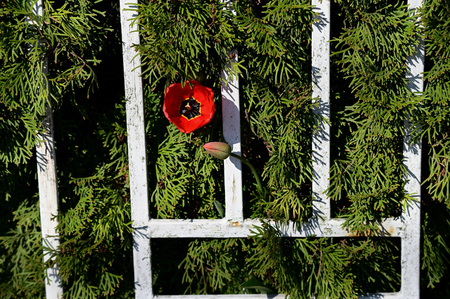 A red tulip flower emerging behind a fence from thuje. Reklamní fotografie