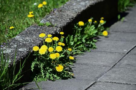 Yellow dandelion flowers near the sidewalk.