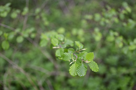 Fresh young green alder leaves in nature. Stock Photo