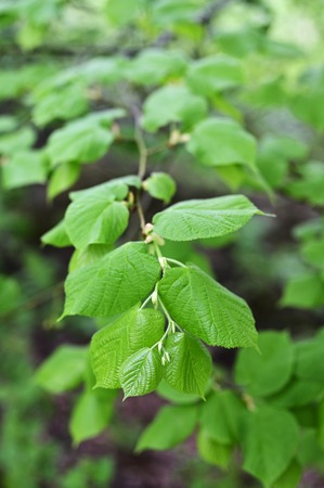Lush green leaves of linden tree on a branch.