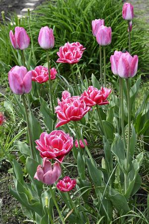 Pink ornamental tulip flower in nature.