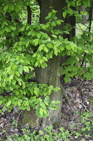 Young green leaves of hornbeam and part of tree trunk. Stock Photo