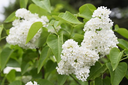 White lilac flowers and green leaves.