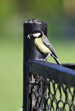 Great tit with food in its beak.