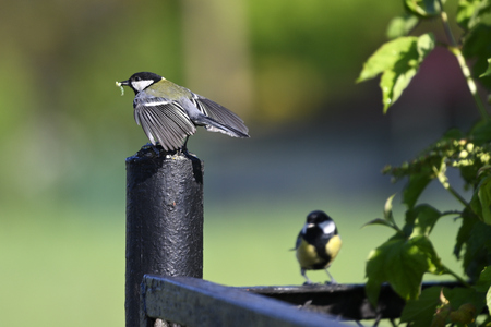 Great tit two on fence near column carrying food for young.
