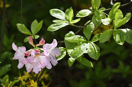 Pink azalea flower and green leaves in nature.