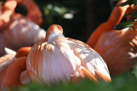 Resting flamingo with head in feathers. Stock fotó