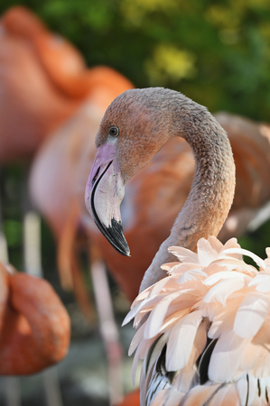 Flamingo outdoors in nature close-up on neck and head.