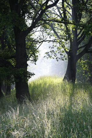 Morning haze with tall grass and oak tree trunk.
