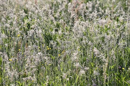 Morning dew on high grass in meadow.