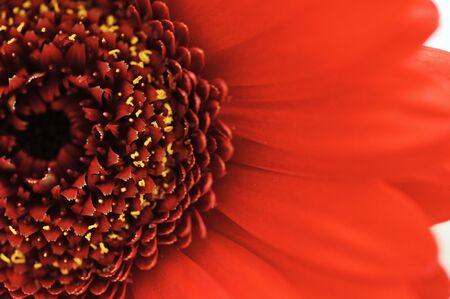 Macro view of red gerbera flower.