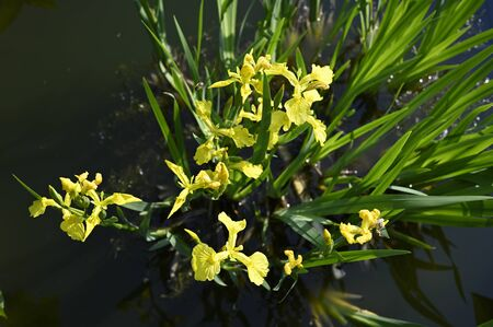 Yellow flowers of iris and green leaves.