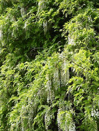 White flowers vistarie green leaves.