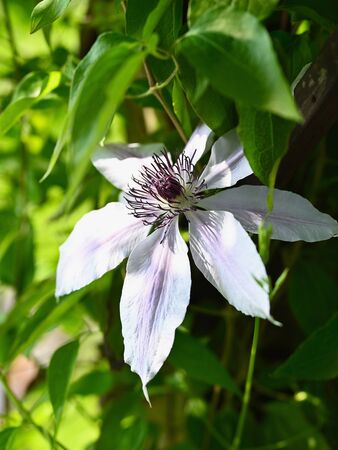 Pink flower clematis on plant.