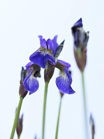 Blue iris flower and green stem.