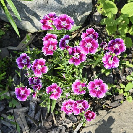 Pink flowers of ornamental carnation growing outdoors.