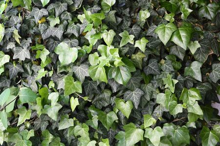 Young green ivy leaves outdoors.