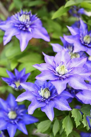 Blue flower clematis on plant.