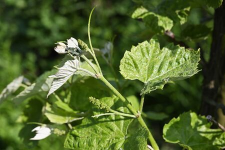 Small buds of flowers on vine with green leaves. Banco de Imagens