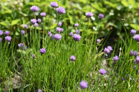 Pink chives flowers and green stems.
