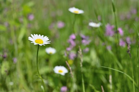 Flower of marguerites in nature. Stock Photo