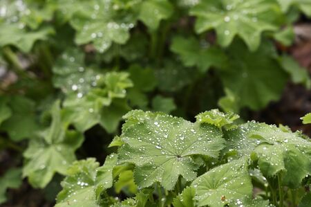 Drops of morning dew on green leaves of mantle.